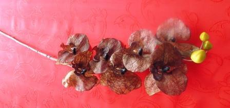 Phalaenopsis hnědá malá MH91811