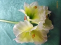 Amaryllis bílý MH91963