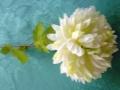 Chryzantéma bílá MH91831