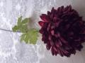 Chryzantéma vínováMH91831