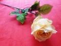 Růže poupě kávová MH91814