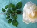 Růže rozkvetlá běžová MH91813